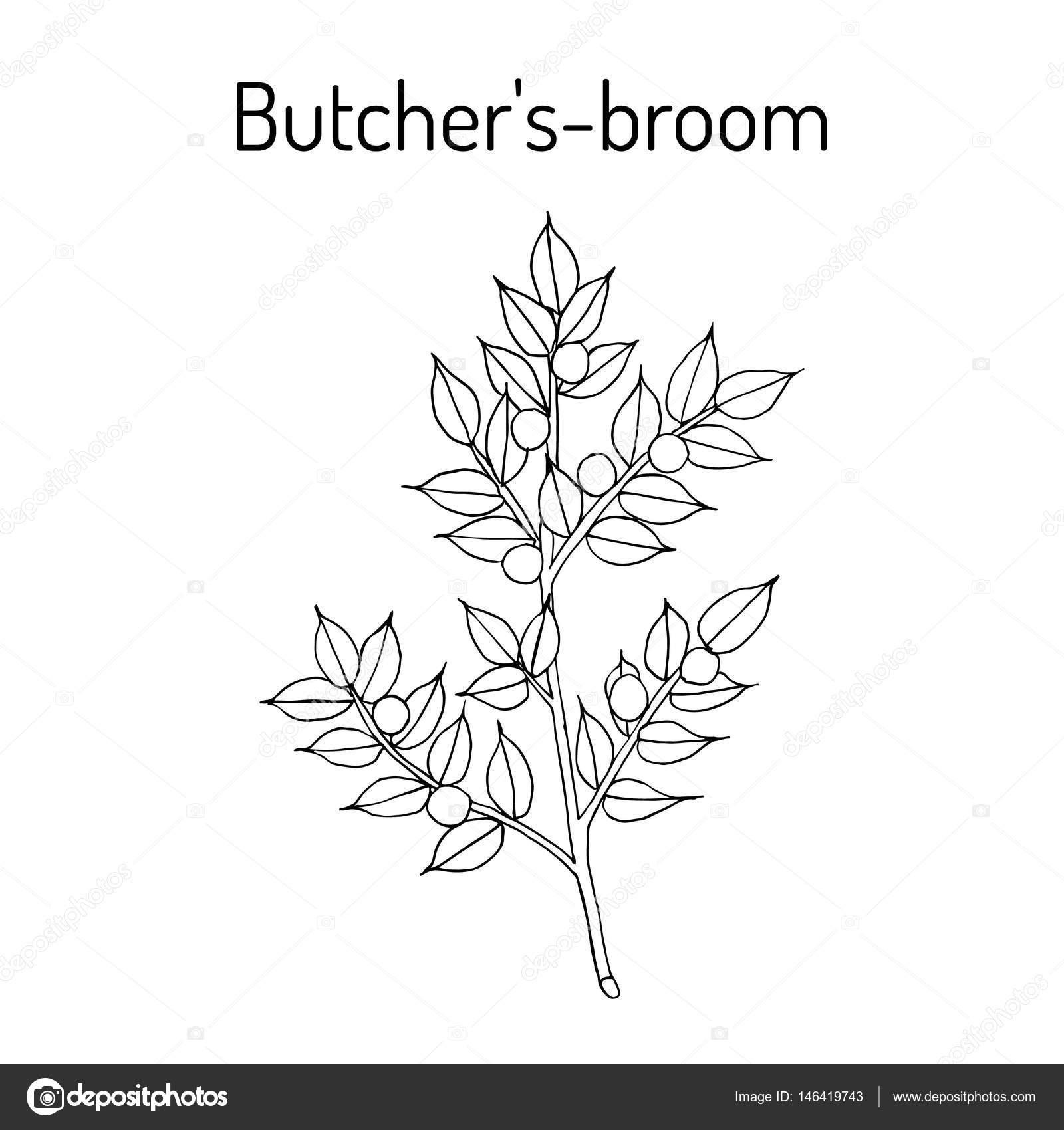 Carnicero de escoba s Ruscus aculeatus o rodilla acebo, baya de ...