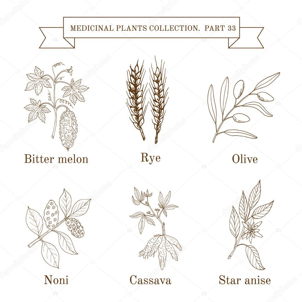 Vintage collection of hand drawn medical herbs and plants, bitter melon, rye, olive, noni, cassava, star anise