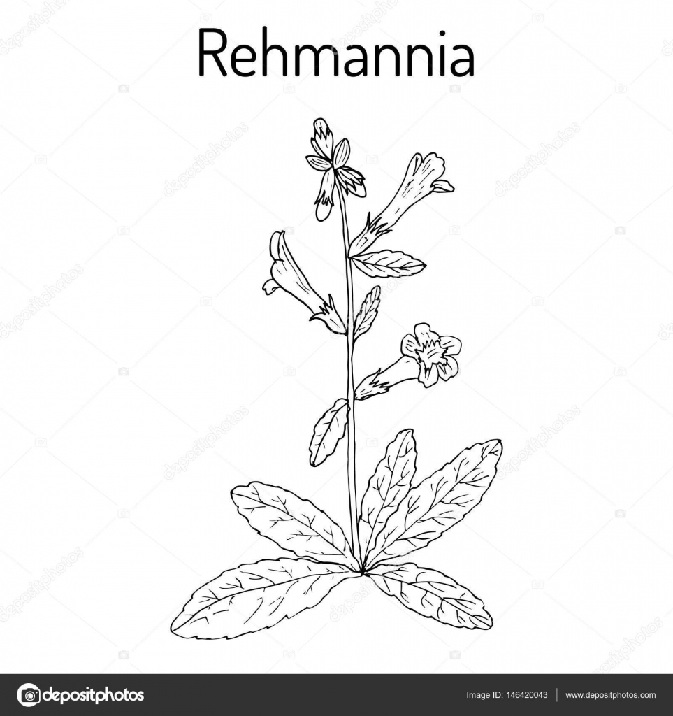 Rehmannia Glutinosa Herb Of Traditional Chinese Medicine Stock