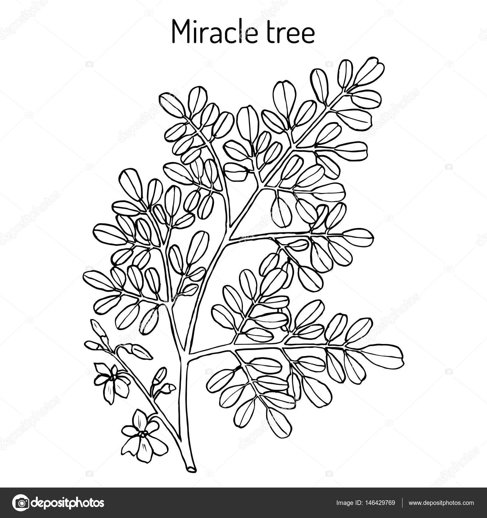 Milagro árbol Moringa oleifera, planta medicinal — Archivo Imágenes ...