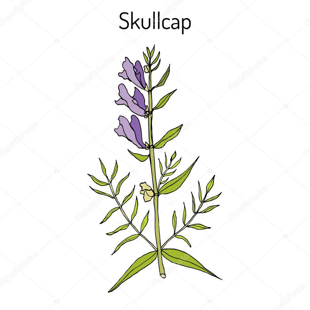 Baikal skullcap scutellaria baicalensis - medicinal plant