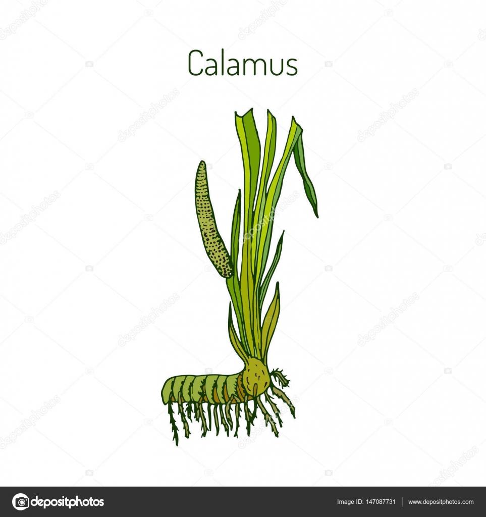 Hojas y raíz de Acorus calamus — Archivo Imágenes Vectoriales ...