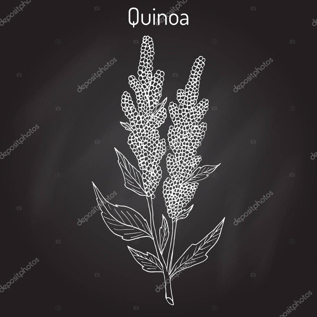 Quinoa Chenopodium quinoa superfood, healthy plant