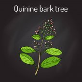 Quinine Bark Tree Cinchona officinalis , medicinal plant