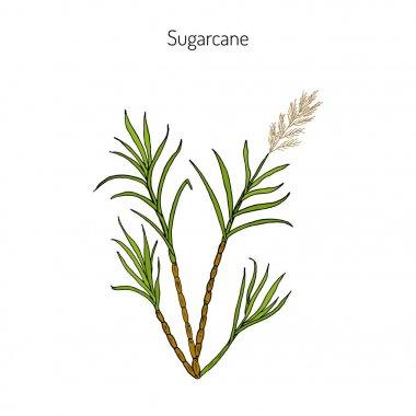 Sugarcane. Hand drawn botanical illustration