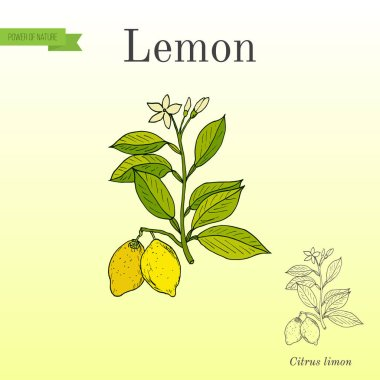 Lemon branch with fruits