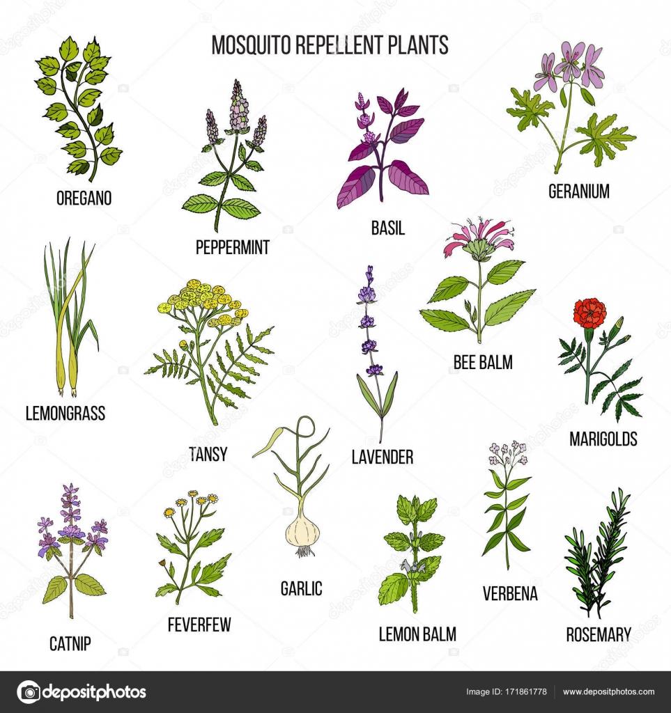 Mejores plantas repelentes archivo im genes vectoriales foxyliam 171861778 - Plantas ahuyenta mosquitos ...