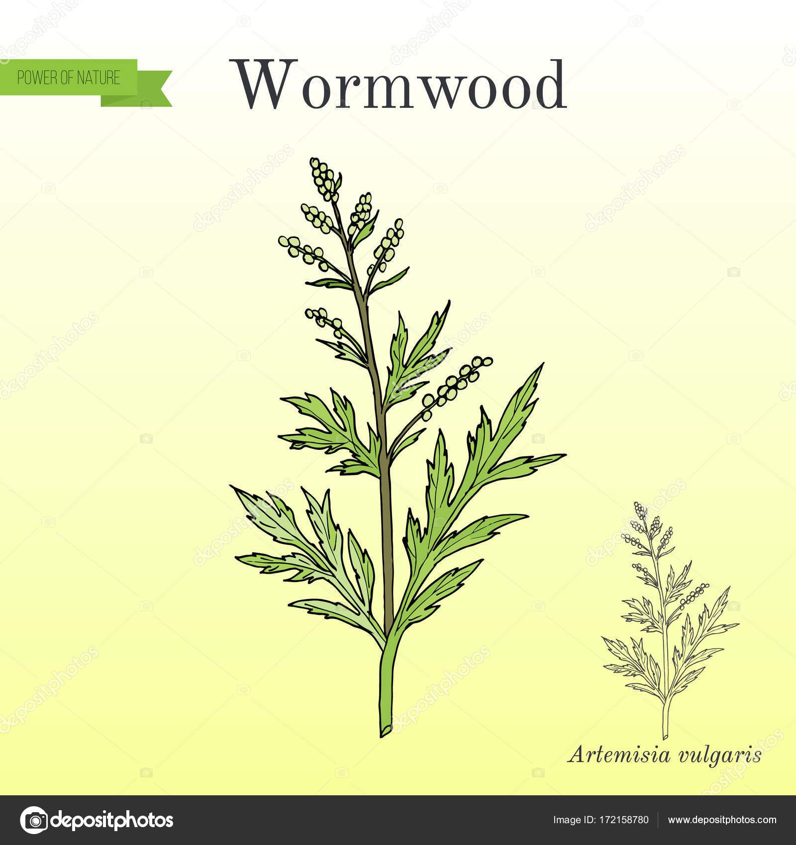 Mugwort Botanical Drawing Mugwort Or Common Wormwood