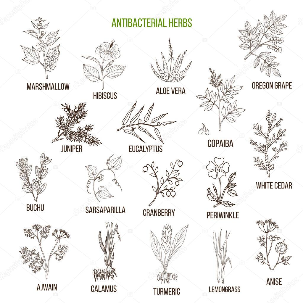 Best antibacterial herbs
