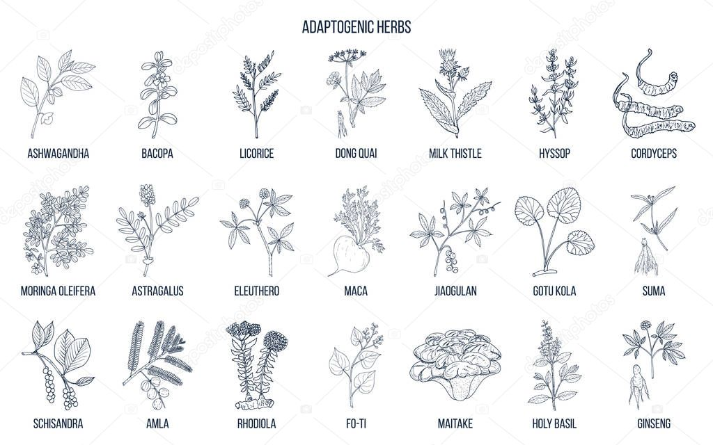 Adaptogen herbs. Hand drawn vector