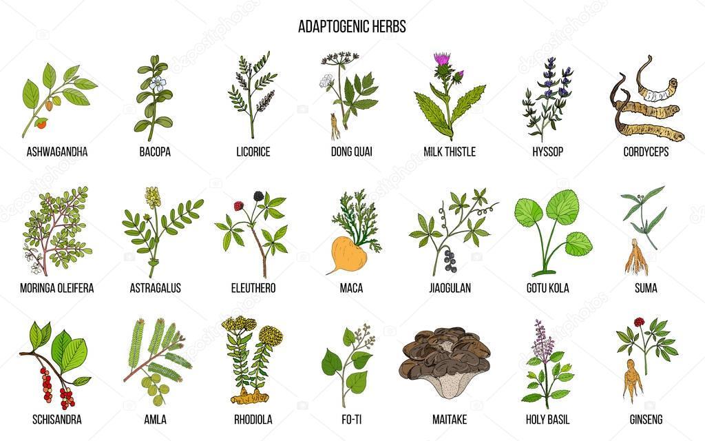 Adaptogen herbs. Hand drawn vector