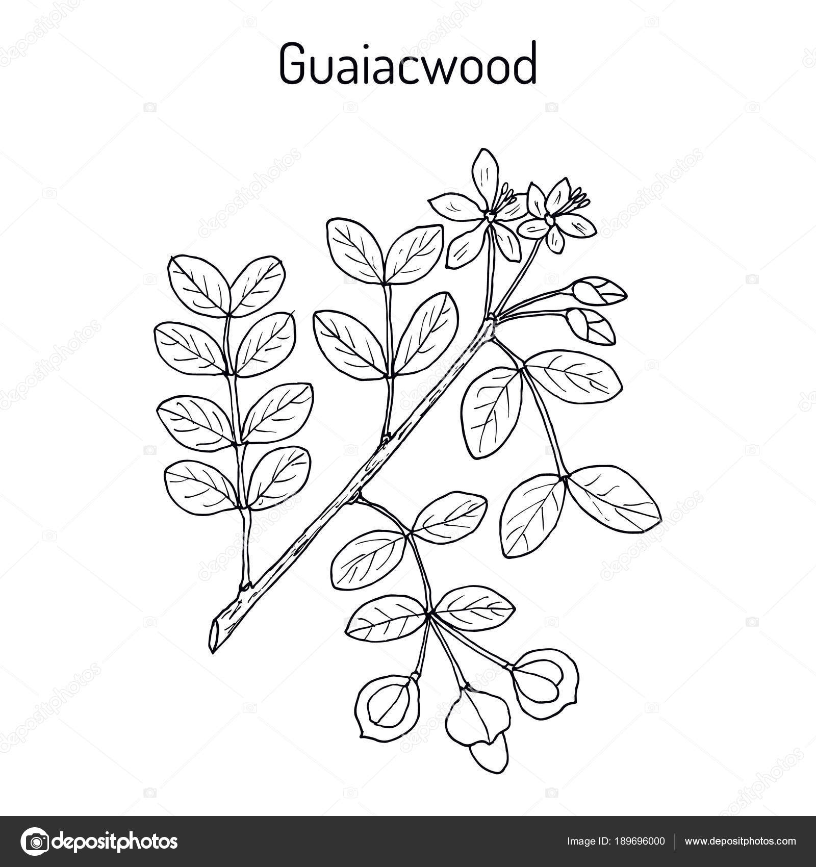 Guaiacwood Guaiacum Officinale Medicinal Plant Stock Vector