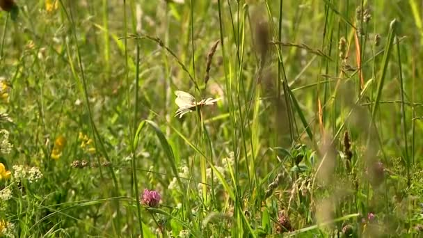 butterfly on camomile field