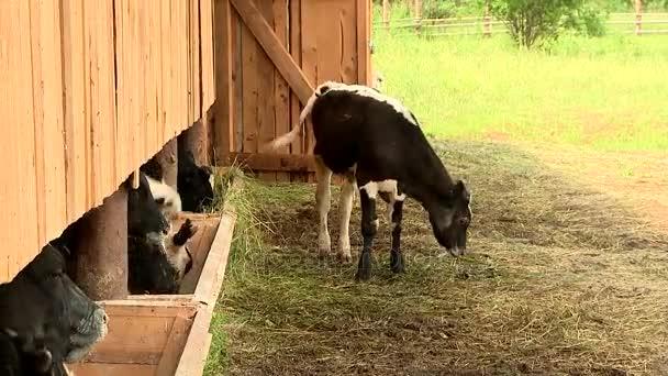 Krávy na farmě jíst seno