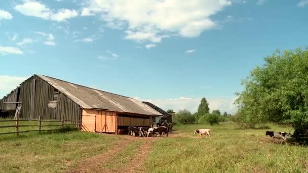 krávy na farmě přejděte na tác s jídlem
