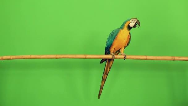 Papoušek ara plemeno chodí na bambusové větve na zeleném pozadí a listy