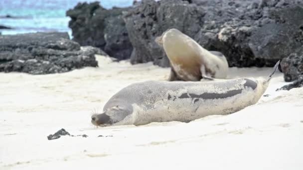 Sea Lion rolling on the beach