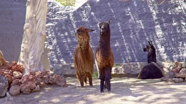 Alpacas in Andean Mountains
