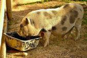 Fotografie Divoké prase při krmení v kontaktní Zoo