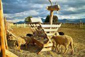 Fotografie Zajímavé cratch ovce v kontaktní Zoo