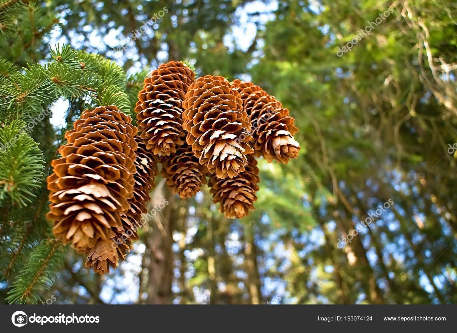 Fichte Kiefer Äste im Wald — Stockfoto © schlachta71@gmail.com ...