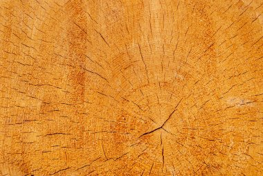Wood texture of a cut pine trunk, close-up as background
