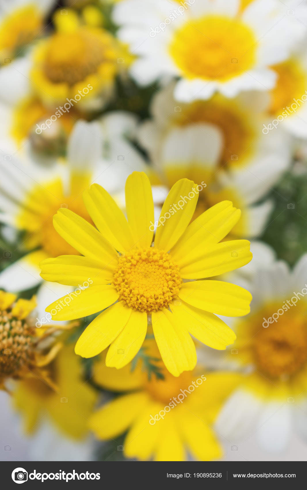 White And Yellow Daisies Flowers In Bright Sun Light Stock Photo