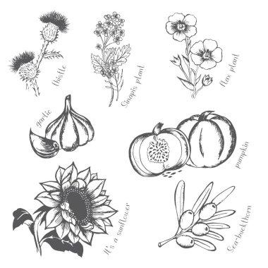 Oil cultures,sunflower flower, flax, mustard, garlic, pumpkin, sea buckthorn