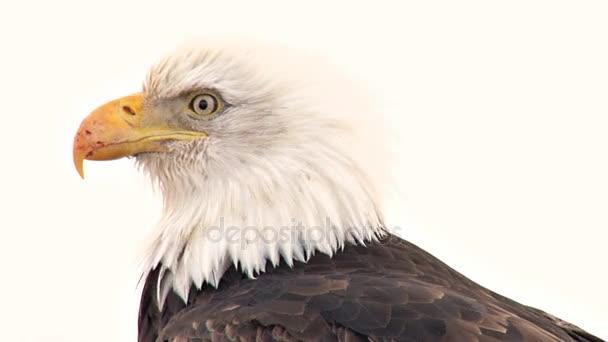 Weißkopfseeadler mit vernarbtem Schnabel schaut sich um