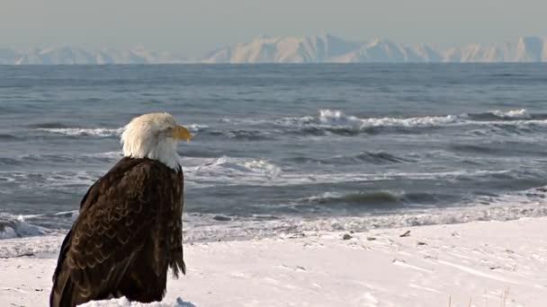 Orel bělohlavý, díval se na malebné hory moře a vzdálenosti