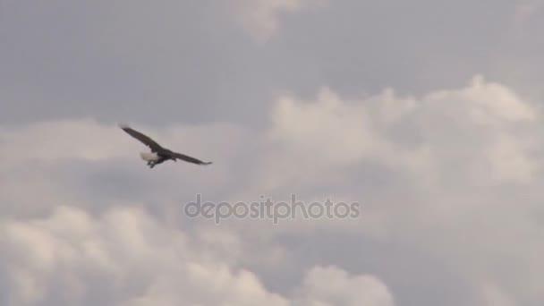 Orel bělohlavý, tyčící se nad horami mraky