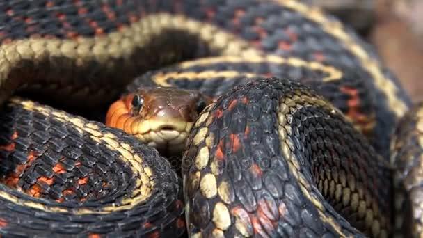 colorful garter snake coiled