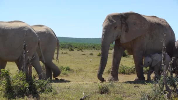 az elhaladó addo elephant national park Dél-afrikai Köztársaság-ban Bencze elefánt elefántokat