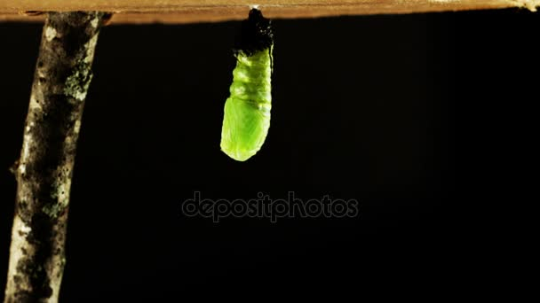 metamorfózis uralkodó pillangó