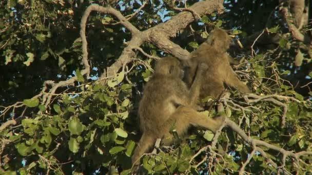 Äffchen pflegt im Baum