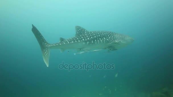 Hai schwimmt langsam durch offenes Wasser