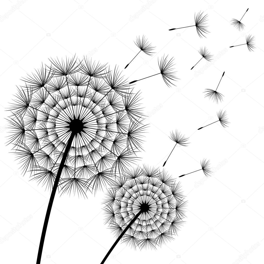 Two beautiful flowers dandelions over white