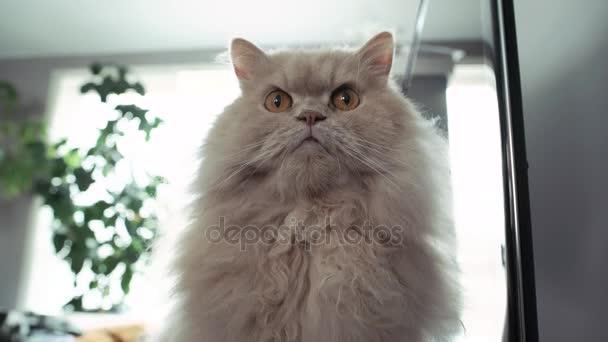 Perská kočka sedí na při zemětřesení přichází s 4 k rozlišením.