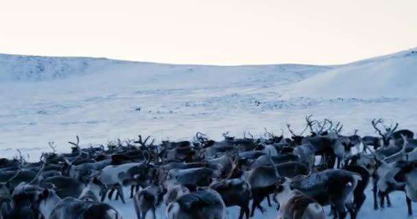 Letecký pohled na stádo sobů, který běžel na sněhu v tundře. Red Epic. 4k