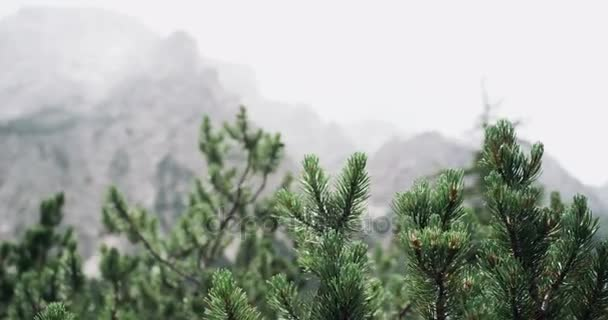 Close-up pine trees and the background perfect mountains landscape.