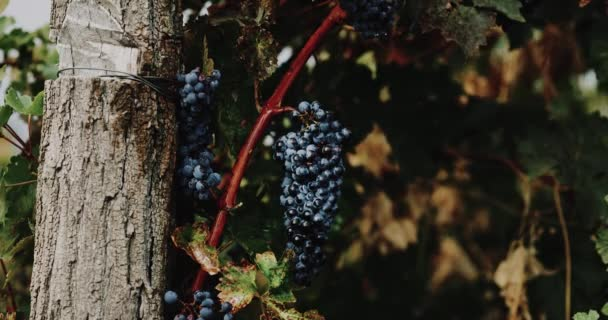Closeup bunches of red grapes hanging in vineyard