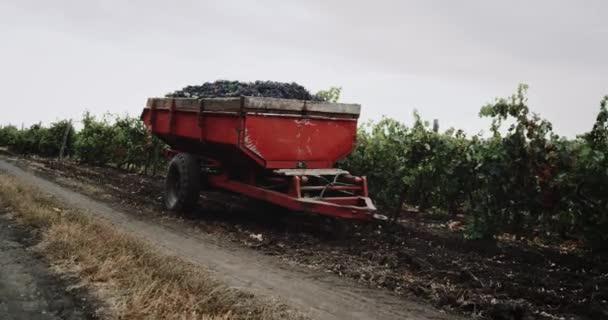 Velký kontejner s hrozny červených hroznů stojí uprostřed vinic. 4k