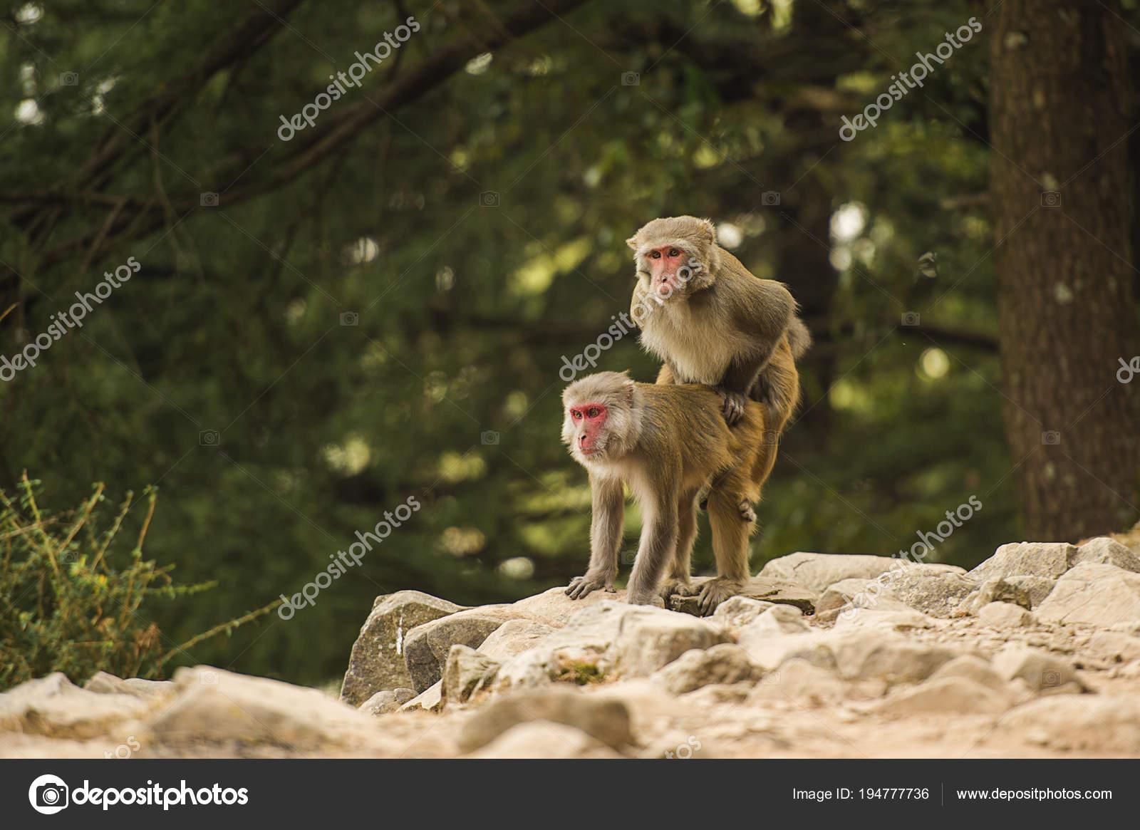Самые секс обильные обезьяны