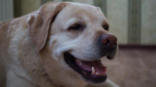 Labrador je ležet na podlaze interiéru