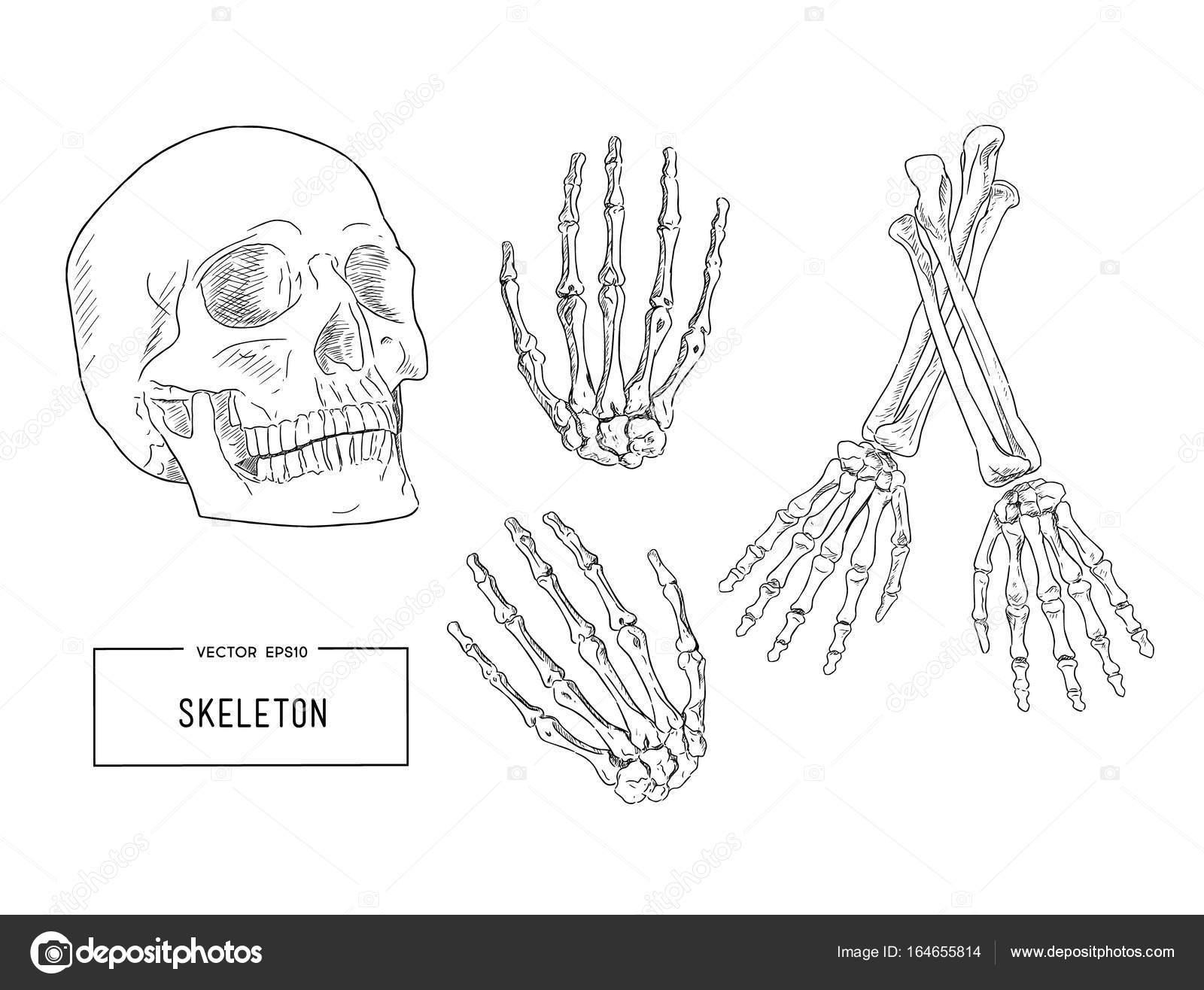 esqueleto humano, dibujo vectorial — Archivo Imágenes Vectoriales ...