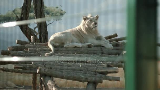 A bright African lion lies on logs, warms itself in the sun, at the zoo