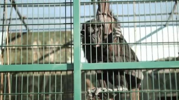 Chimpanzee down the zoo lattice to the people to eat