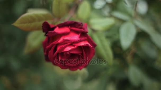 Červené růže se uzavírají. Pozadí.