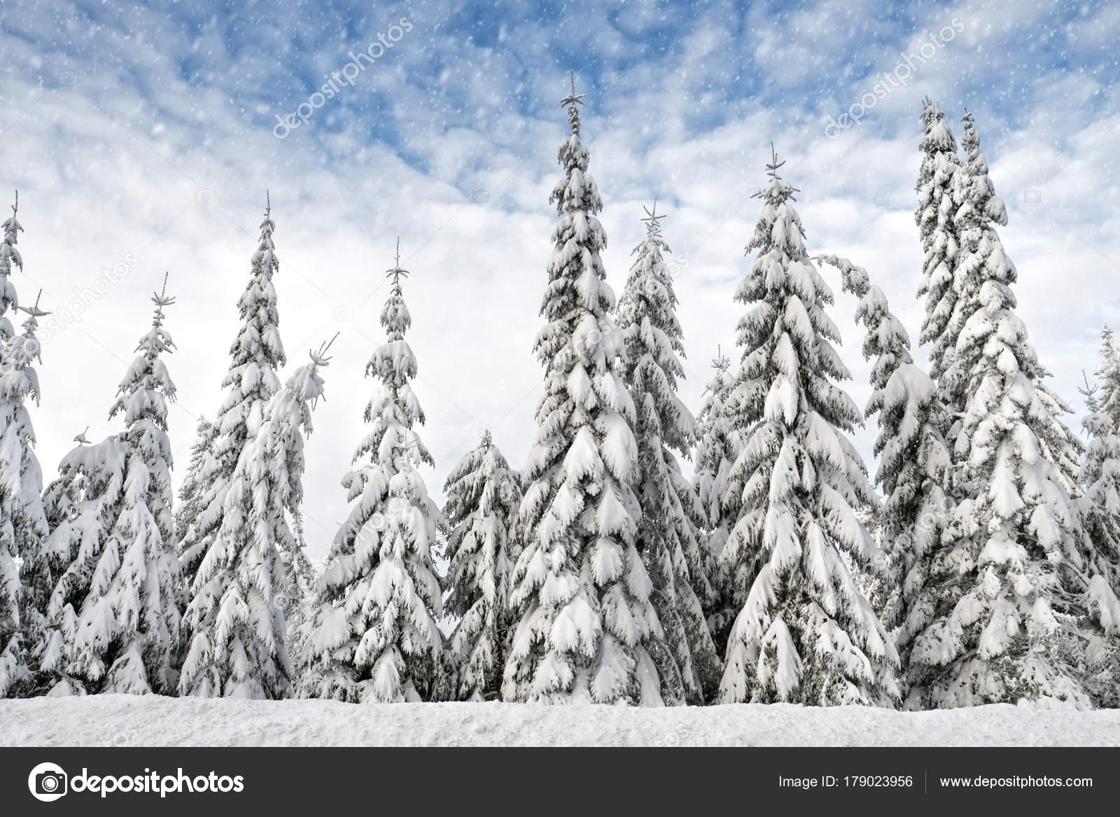 fichte tanne bäume schneebedeckte hintereinander — stockfoto