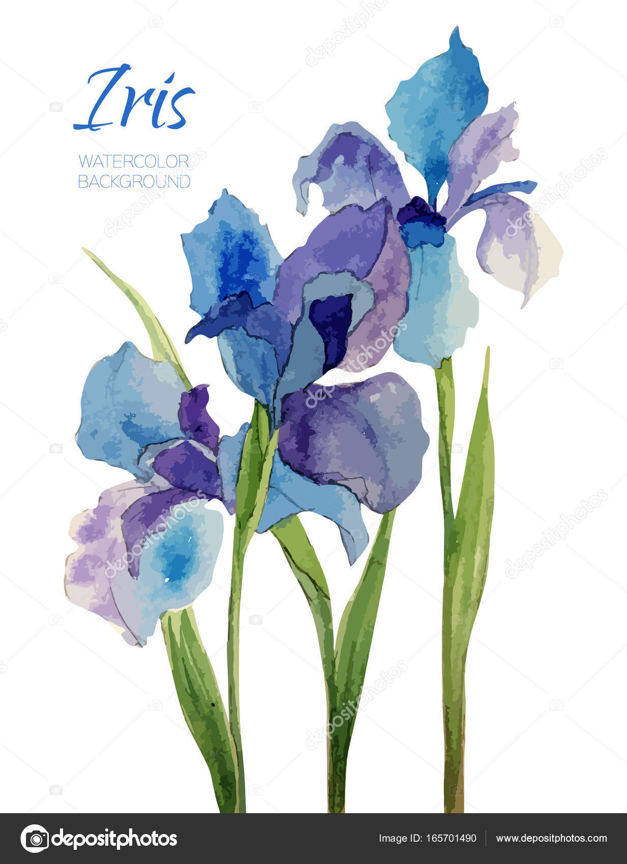 Vintage Hand Made Watercolor Vector Flower Iris Romantic
